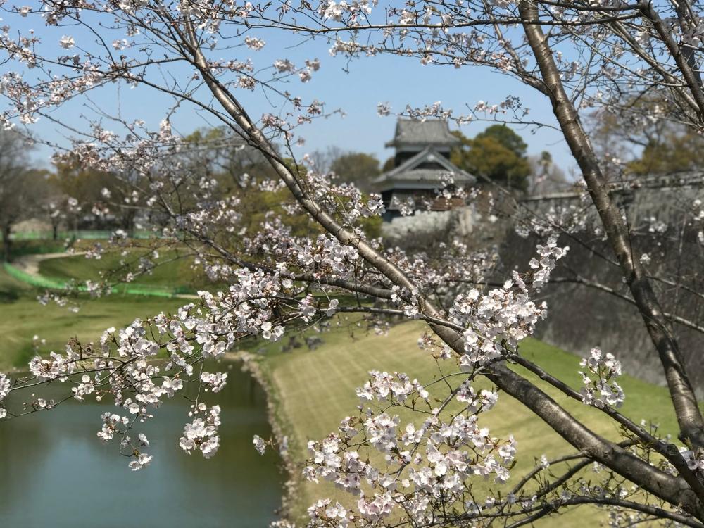 Kumamoto Castle & Cherry